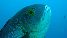 маколор рифовая рыба